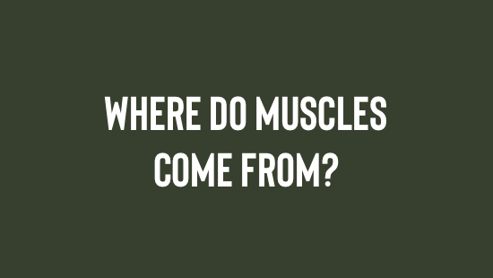 Where Do Muscles Come From?